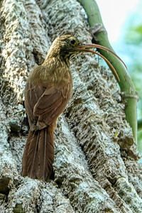 Red-billed Scythebill (Campylorhamphus trochilirostris)