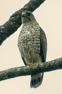 Immature Broad-wing Hawk
