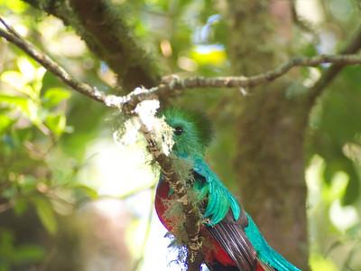 Quetzal Watching Volcan Baru - 13Feb15