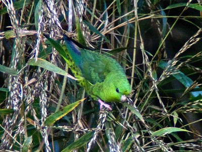 barred parakeet (Bolborhynchus lineola), also known as lineolated parakeet, Catherine parakeet or 'linnies' for short