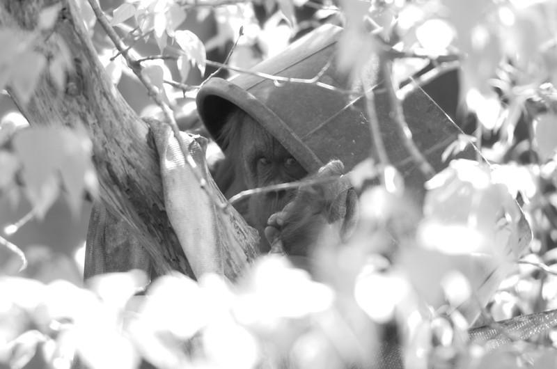 peeking orangutan