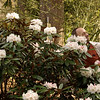 The Teddy Bear Rhododendron was in bloom.