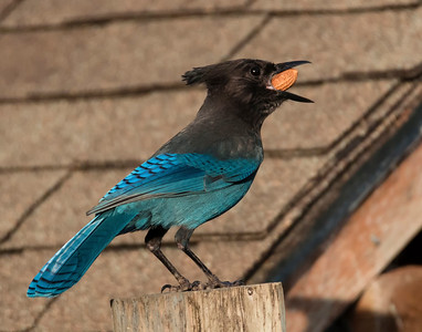 Stellar's Jay, North Bend, OR