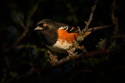 Spotted Towhee  NB OR