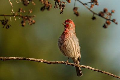 House Finch, N Bend, OR