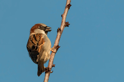 House Sparrow, N Bend, OR