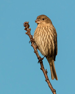House Finch  NB OR