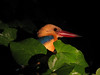 Adult stork-billed kingfisher. sweet.