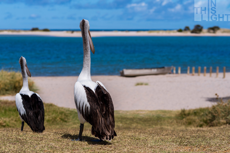 Pelicans Watching The Sea