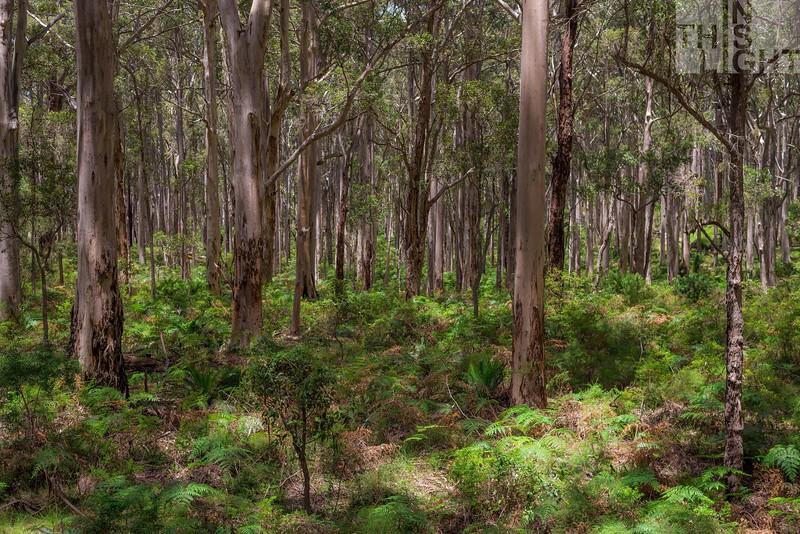 Karri Forest II