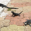 A trio of marine iguanas pose in formation for me on the pier
