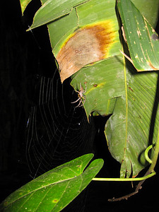a (?) spider monitors his web. This fella builds a new web each and every night.