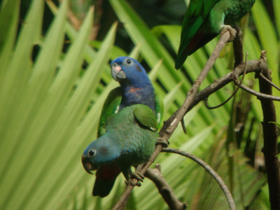 Close up of the blue-headed and dusky-headed parrots. Courtesy of our guides.