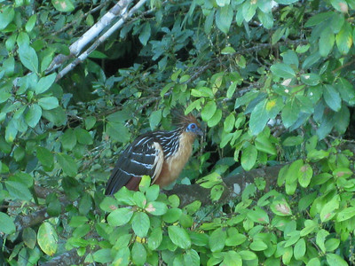 another Hoatzin. turned out to be a lot of them around the water's edge.