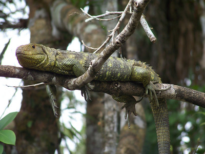 during the full-day tour on the first day, sighting this lizard was one of the highlights.