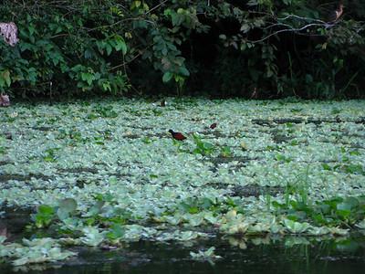"""jesus bird"" walks across the water on the lilies"