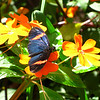 Mindo Lago also features a butterfly farm enclosure - the butterflies are quite active in the sunshine