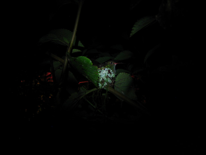 """A feature of Mindo Lago is the """"frog concert"""" which is really a nature tour around the area. Here a hummingbird sleeps in its nest, near our cabin."""