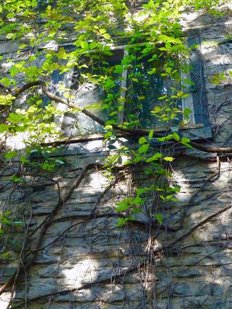 Climbing Ivy