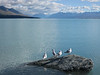 Gulls on Lake Pukaki looking towards grand Mount Cook shrouded in clouds.