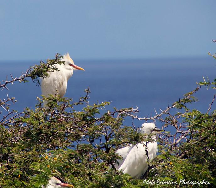 St. Lucia Bird Nesting