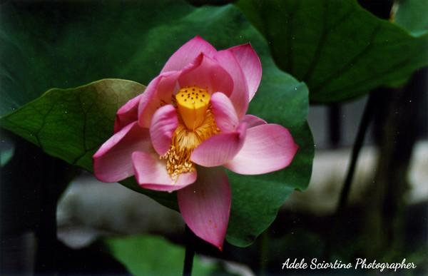 Lotus ~ Classic Gardens