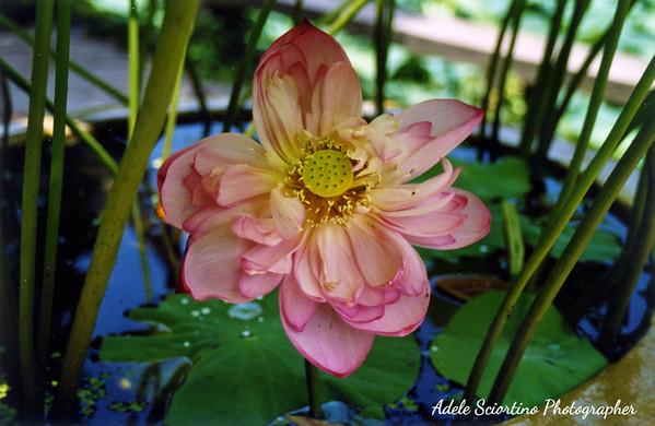Lotus Flower ~ Classic Gardens