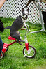 Dog on a trike at Woofstock, 8 June, 2013.