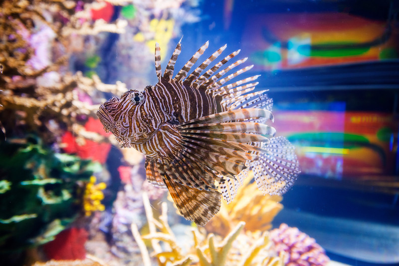 This is Pterois volitans, aka Red Lion Fish. Very cool, though maybe a bit of a garish dresser - fish couture Shot this one at the Ripley Aquarium in Toronto on December 19.