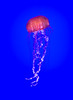 This is Chrysaora fuscescens, known commonly as Pacific Sea Nettle. Shot this one at Ripley's Aquarium in Toronto on December 19. It's one of the jellyfish species that some say is exploding in population, sometimes becoming so numerous that they clog fishing nets and underwater intakes in coastal areas. They sting, but not badly enough to be very dangerous to humans.
