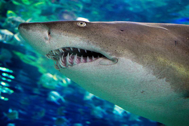 I think this is a Sand Tiger Shark, shot at the Ripley's Aquarium in Toronto on December 19.