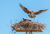 Osprey breakfast, 9 June, 2014.