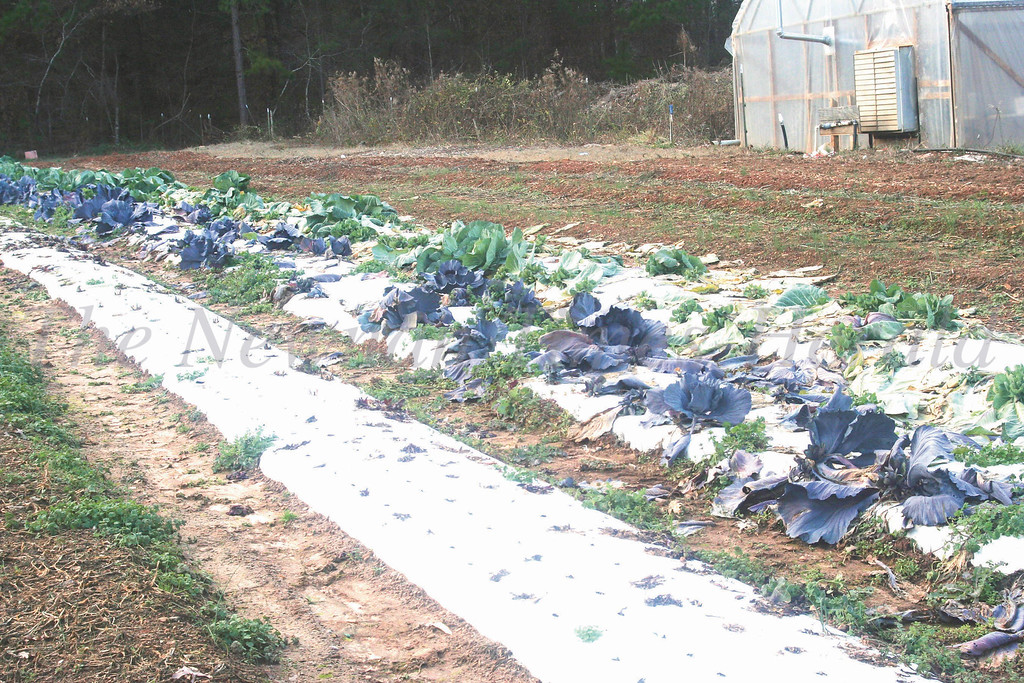 Cabbages are starting to sprout at the Cunningham's Country Gardens Farm in Newnan.