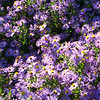 We see this aster that the butterflies and bees were enjoying.