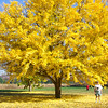 Jeane and the champion Gingko