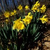 Daffodils - not a native flower but there are several lovely patches in the park that don't seem to be causing trouble.    March 7, 2020, Cherokee Park