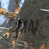 Downy Woodpecker - February 29, 2020, Cherokee Park