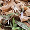 White Trout Lily - March 15, 2020, Cherokee Park