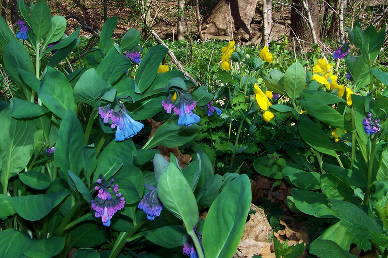 Virginia Bluebells and Wood Poppies growing together make a nice color combination.  Cherokee Park, April 4th, 2010
