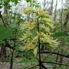 Ohio Buckeye in bloom - March 25th, 2012 - Cherokee Park