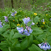 Virginia Bluebells and Wood Poppy - March 25th, 2012 - Cherokee Park