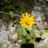 Dwarf Dandelion - with THREE pollinators on one flower! - April 27, 2020