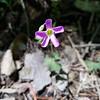 Violet Wood Sorrel - April 27, 2020