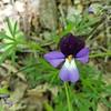 Birdfoot Violet - Viola pedata - April 27, 2020