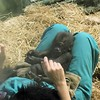 Kindi is a Western lowland gorilla.  Her birth was planned as part of a Gorilla Species Survival Plan.