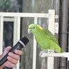 This Yellow-naped Amazon parrot sang quite a few songs for us!