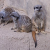 Patti's  favorite zoo animals -- the meerkats