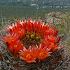A Barrel Cactus in Bloom