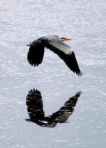 A Heron flies low over the canal in Tullamore