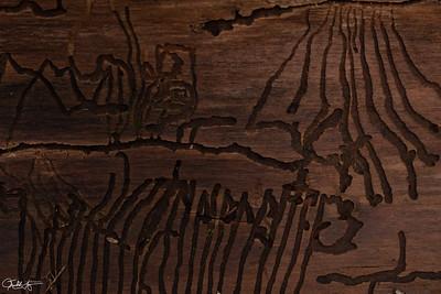 Hieroglyphs by Wood Boring Beetles